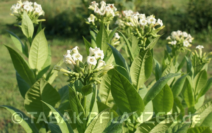 4 Tabakpflanzen, Rauchtabak, White Orient Nicotiana tabacum